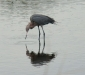 reddish-egret-4